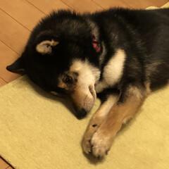 誕生日/柴犬 こてつ‥2歳になりましたぁ🎂 まだまだ、…(2枚目)