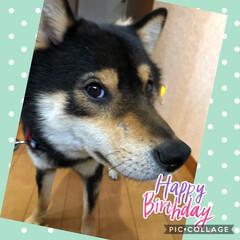 誕生日/柴犬 こてつ‥2歳になりましたぁ🎂 まだまだ、…(1枚目)
