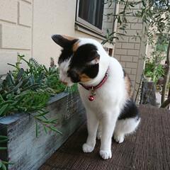 ネコ/猫のいる暮らし/猫/多肉植物の寄せ植え/多肉植物がある暮らし/多肉植物/... タニパト中~ うちのにゃんこは家猫ですが…