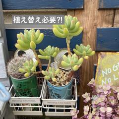 多肉植物寄せ植え/多肉植物 連投失礼します。 沢山増えた葉挿しっ子 …(5枚目)