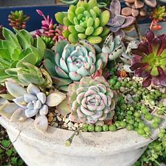 ガーデン/多肉植物寄せ植え/多肉植物のある暮らし/多肉/多肉植物 秋に 寄せ植えしたものです。暖かな冬のせ…