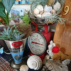 多肉植物がある暮らし/多肉植物 下駄箱の上です。夏に海で拾った貝殻と 多…