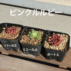 ピンクルルビー/多肉植物/多肉/多肉寄せ植え pic1と2は 私のお世話になってる美容…(4枚目)