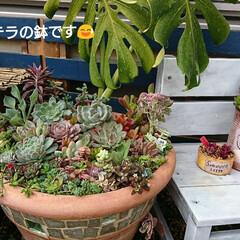 モンステラ/ガーデン/多肉植物寄せ植え/多肉/多肉植物 『家族から 鉢多過ぎ!』との苦情を受けて…(2枚目)