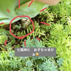 多肉植物寄せ植え/多肉植物 連投失礼します。 沢山増えた葉挿しっ子 …(4枚目)