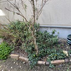 花壇作り/多肉植物 昨日の 簡単花壇作りの勢いで 続き花壇つ…