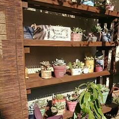 ガーデニング/多肉植物棚/多肉植物/多肉植物がある暮らし 2ヶ月ほど前に作った 多肉植物棚   夏…