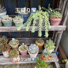 多肉植物寄せ植え/多肉植物 連投失礼します。 沢山増えた葉挿しっ子 …(2枚目)
