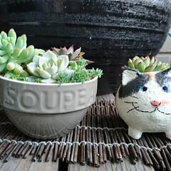 猫好き/ねこ/多肉植物がある暮らし/多肉植物寄せ植え/多肉/多肉植物/... こまる地方は(わたしん家)西日本ですが、…