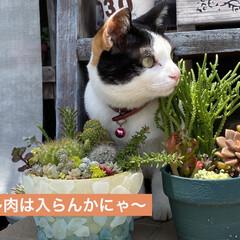 猫好き/猫/多肉植物 沢山雨が降ったので 多肉パトロール!  …