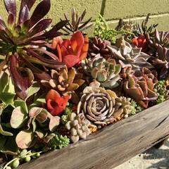ガーデン/多肉植物寄せ植え/多肉植物のある暮らし/多肉/多肉植物 このところ雨がよく降るので 土が乾く間が…