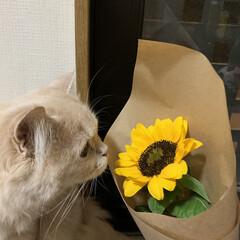 スコティッシュフォールド立ち耳/うちの子ベストショット/フォロー大歓迎/にゃんこ同好会 夏の花「ひまわり」に興味津々です。