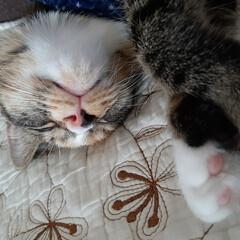 ねこちゃん/猫と暮らす/ねこ すくすくと育っています(*´꒳`*) 明…