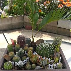 寄せ植え/サボテン/ガーデニング おはようございます❣️ 今日も暑くなりそ…