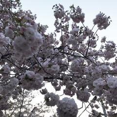 はじめてフォト投稿/風景 桜の花