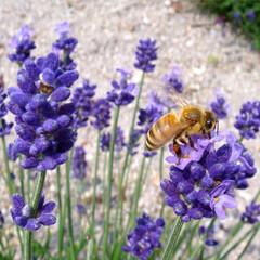 ラベンダー/ハチ/はじめてフォト投稿 ラベンダーとハチ。