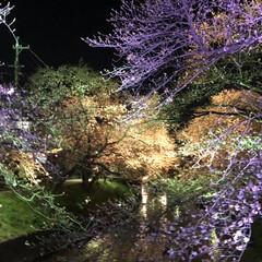 はじめてフォト投稿/風景 夜桜です。