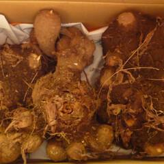 「初めて〇〇作ってみました!」/リミアな暮らし 半年かけて家庭菜園で作った里芋です。長持…(1枚目)