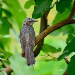 鳥が好き/自然/おでかけ/暮らし/フォロー大歓迎/LIMIAおでかけ部 久しぶりに ヒヨドリに出会えました❣️