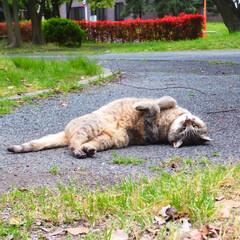 猫派 猫がごろんと寝転がる途中を激写