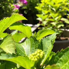 庭の花/季節/癒し 紫陽花の蕾が膨らみ始めました 💕💕 今週…