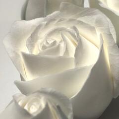 粘土細工/クレイクラフト/クレイフラワー/ハンドメイド 白いバラの花言葉            …