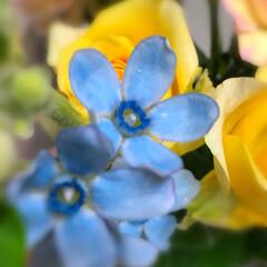 至福のひととき/フレッシュフラワー ブルースター  お花屋さんで目にすると …