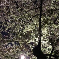 散歩/桜 2020 年      SAKURA. …