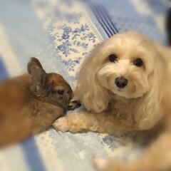 マルプー犬/ミニウサギ/家族 仲良し の フリ 🎶