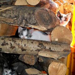 茅野市/エルハウス/エルハウスneco事業部/100歳まで生きる住環境造り/猫と暮らす家/子猫/... 薪の中でかくれんぼする子猫たち、 お母さ…