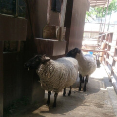 動物園 #はじめてフォト投稿 羊🐑Ꮚ✪ꈊ✪Ꮚ も…