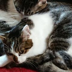 保護猫/猫クラブ すっかり、馴染んだ末っ子マーチ💕 ライト…(3枚目)