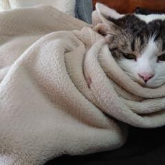 猫クラブ/のんびり/温厚猫? 毛布にくるまった暖くん。 銀河鉄道999…