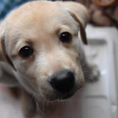 犬派/犬/ラブラドールレトリバー まだ幼いラブラドールレトリバーです
