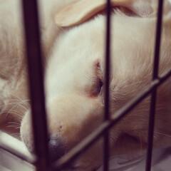 犬派/犬/ラブラドールレトリバー 寝顔をパシャ