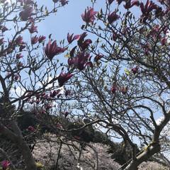 春/住まい/暮らし 桜🌸も ちょー満満開(^^) だけど紫木…(2枚目)