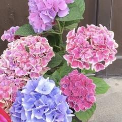 紫陽花/暮らし  紫陽花の花言葉 移り気、無情、浮気 だ…