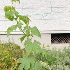 暮らし おはようございます☀ 家庭菜園 ビギナー…