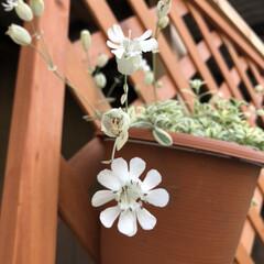 暮らし 朝見た花びら 全開したお顔の ミレネユニ…