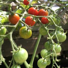 プチトマト栽培/暮らし おはようございます😃 長雨の後わが家のぷ…