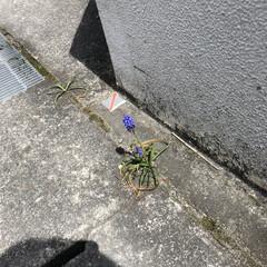 花/暮らし 私も こんな所に、ムスカリの花見つけまし…