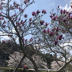 春/住まい/暮らし 桜🌸も ちょー満満開(^^) だけど紫木…(1枚目)
