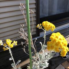 暮らし 先週の雨風で、伸びに伸びてた白妙菊の花 …(1枚目)