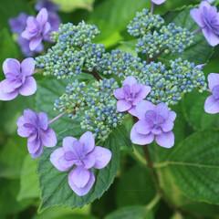 写真好きと繋がりたい/写真好き/写真撮影/植物写真/花写真/写真/... 太閤山ランドの紫陽花。今年も綺麗に咲きま…
