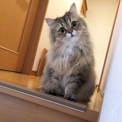 LIMIAペット同好会/にゃんこ同好会 つんこちゃんです。 階段が大好きですよ。