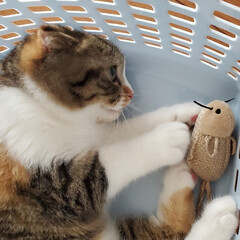 猫おもちゃ/猫と暮らす 最近お気に入りのネズミのおもちゃ。 くわ…(2枚目)