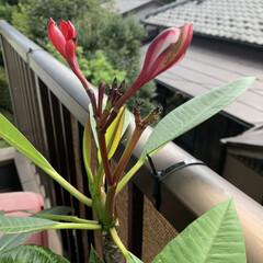 プルメリア/花 うちの プルメリア。  暑すぎて 水を欠…(3枚目)