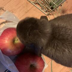 りんご/ホーランドロップ/家族 お嬢  風   ふぅちゃん。   りんご…