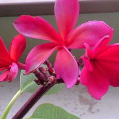 プルメリア/花 今朝のプルメリア。  赤いのが咲いたとお…(2枚目)