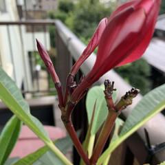 プルメリア/花 うちの プルメリア。  暑すぎて 水を欠…(1枚目)